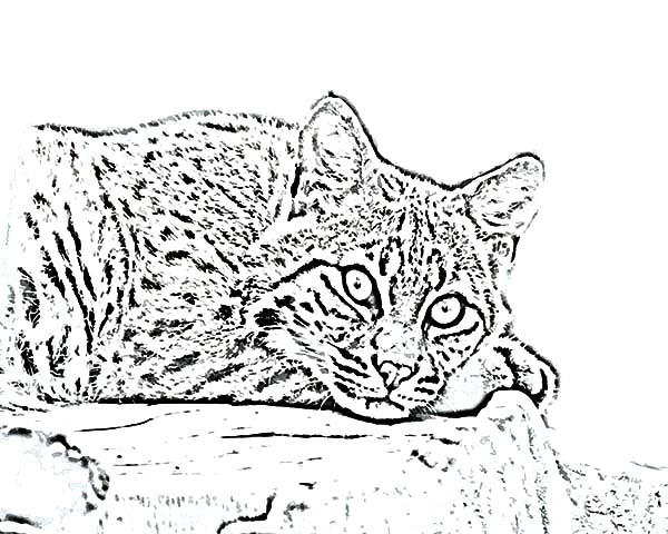 Scary Eyes Bobcat Coloring Pages: Scary Eyes Bobcat Coloring Pages ...