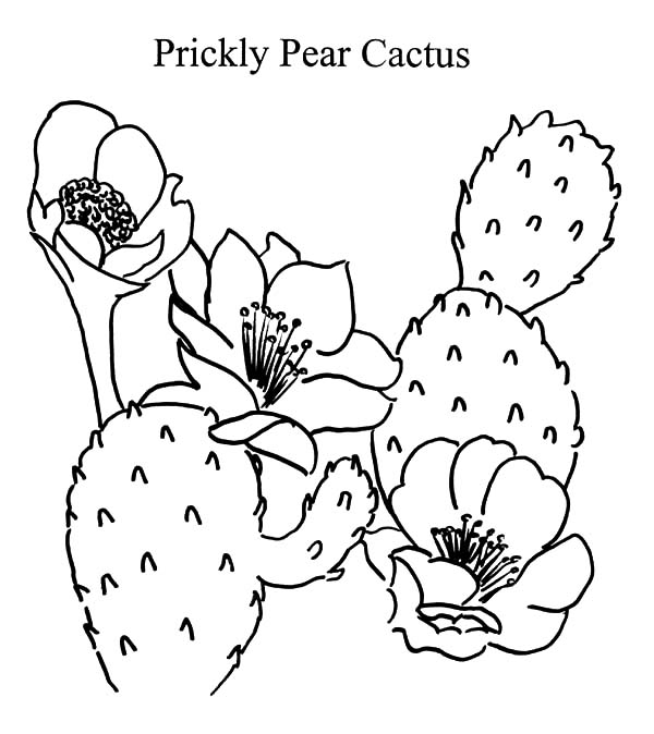 Prickly Pear Cactus Coloring Pages Prickly Pear Cactus Coloring