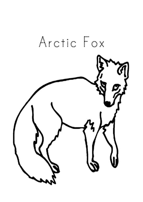Artic Fox, : A is for Artic Fox Coloring Pages