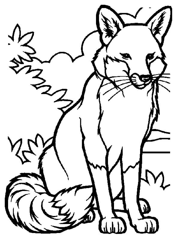 Artic Fox, : Alpha Male Artic Fox Coloring Pages