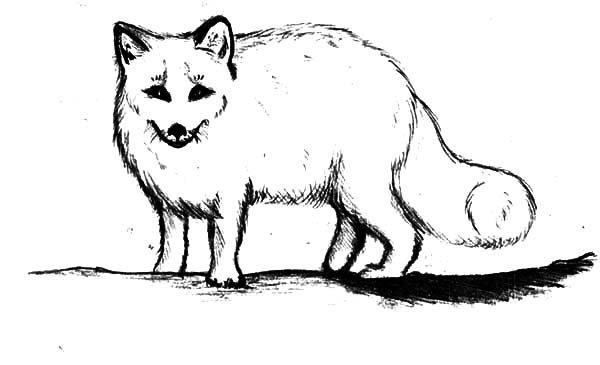 Artic Fox, : Artic Fox Coloring Pages for Kids