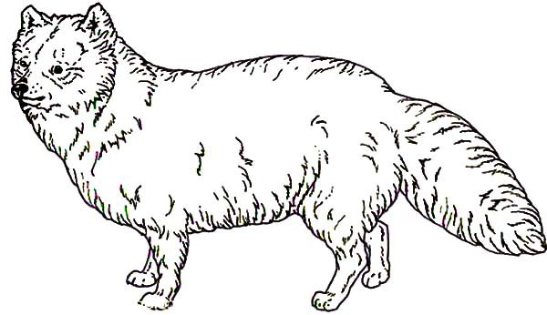 Artic Fox, : Artic Fox Covered with Furr Coloring Pages