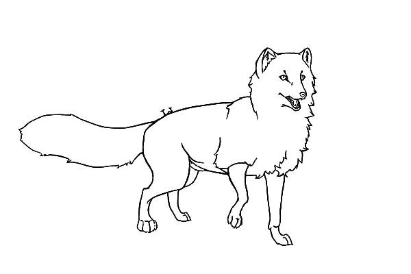 Artic Fox, : Artic Fox Outline Coloring Pages