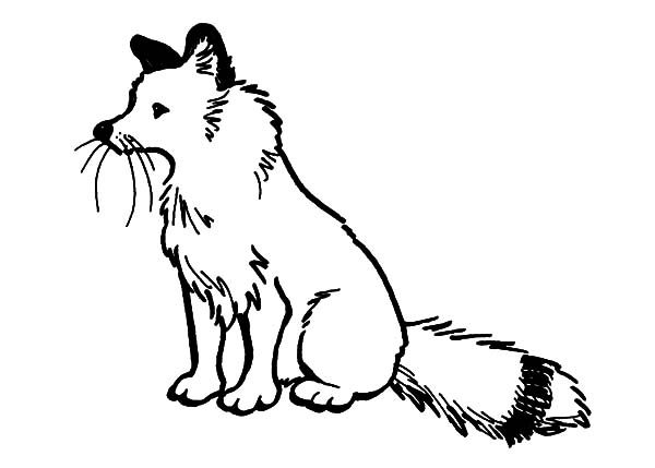 Artic Fox, : Artic Fox Sitting Coloring Pages