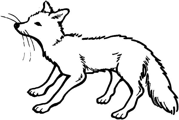 Artic Fox, : Artic Fox is Scared Coloring Pages