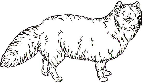 Artic Fox, : Awesome Animal Artic Fox Coloring Pages