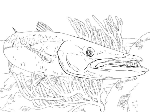 Barracuda Fish, : Barracuda Fish Between Reefs Coloring Pages