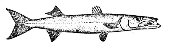 Barracuda Fish, : Barracuda Fish Coloring Pages
