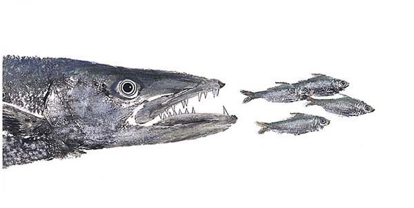 Barracuda Fish, : Barracuda Fish Eat Little Fishes Coloring Pages