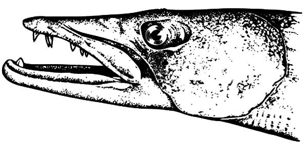 Barracuda Car Coloring Pages : Barracuda fish head coloring pages best place to color