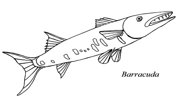 Barracuda Car Coloring Pages : Barracuda fish sharp teeth coloring pages best place to
