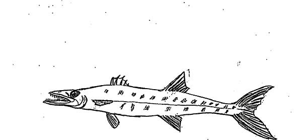 Barracuda Fish, : Delicious Fish Barracuda Fish Coloring Pages