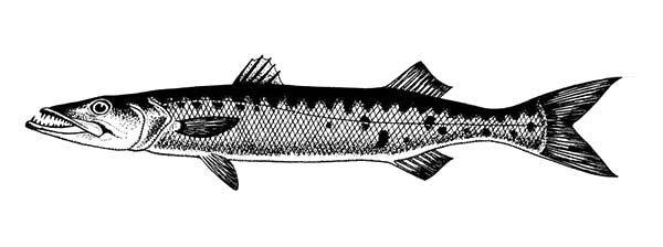 Barracuda Fish, : Fast Swimmer Barracuda Fish Coloring Pages 2