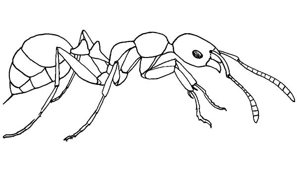 Ants, : Fire Ants Search for Food Coloring Pages