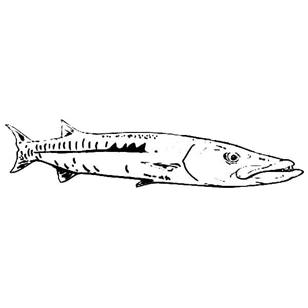 Barracuda Fish, : Fishing Target Barracuda Fish Coloring Pages