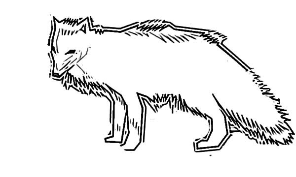Artic Fox, : How to Draw Artic Fox Coloring Pages