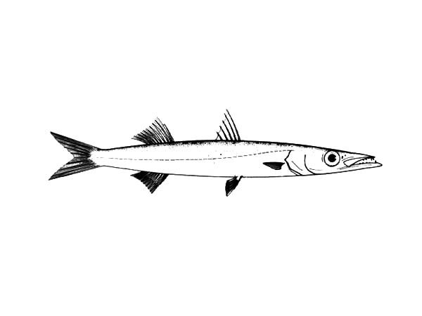 Hunting Barracuda Fish Coloring Pages