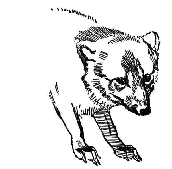 Artic Fox, : Sketch of Artic Fox Coloring Pages