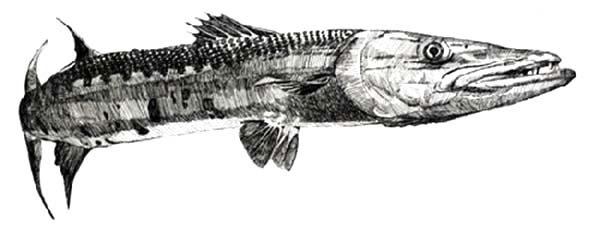 Barracuda Fish, : Sketch of Barracuda Fish Coloring Pages