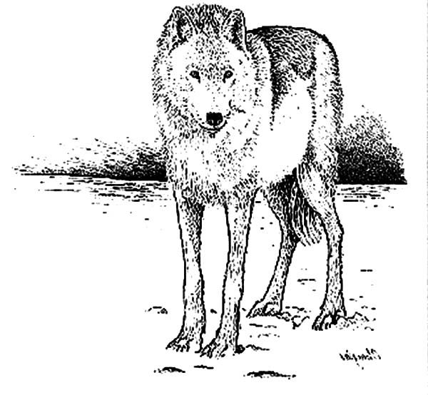 Artic Fox, : Tall Artic Fox Coloring Pages