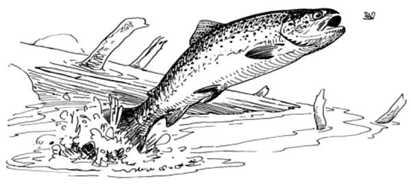 Apache Trout, : Apache Trout Jump Out of Water to Catch Insect Coloring Pages