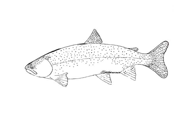 Apache Trout, : Apache Trout is Strong Fish Coloring Pages