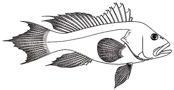 Bass Fish, : Baby Bass Fish Coloring Pages
