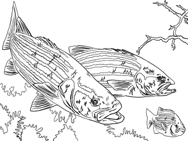 Coloring Book Pages Fish Bass