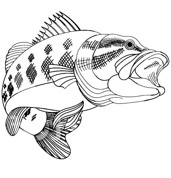 Bass Fish, : Bass Fish Coloring Pages