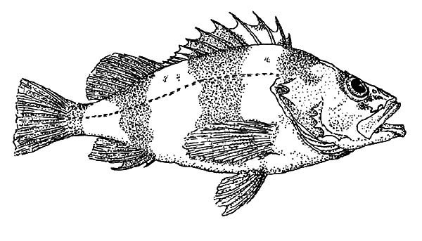Bass Fish, : Bass Fish Coloring Pages for Kids