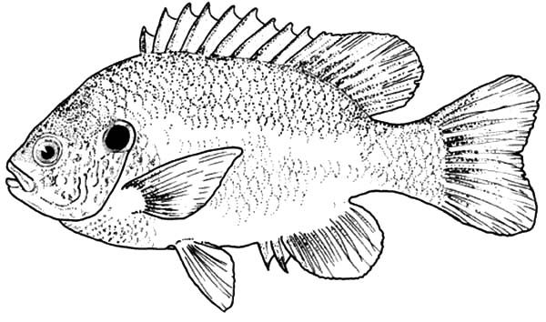 Bass Fish, : Bass Fish Picture Coloring Pages