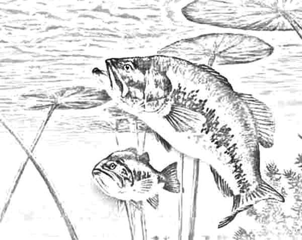 Bass Fish, : Bass Fish Waiting for Target Coloring Pages