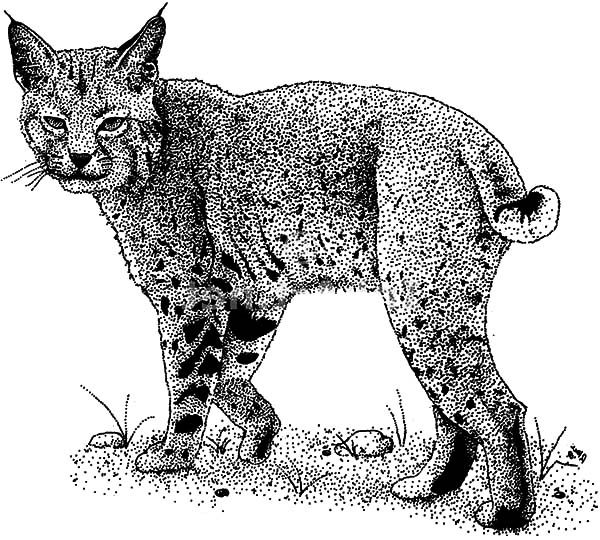 Bobcat, : Beautiful Bobcat Coloring Pages