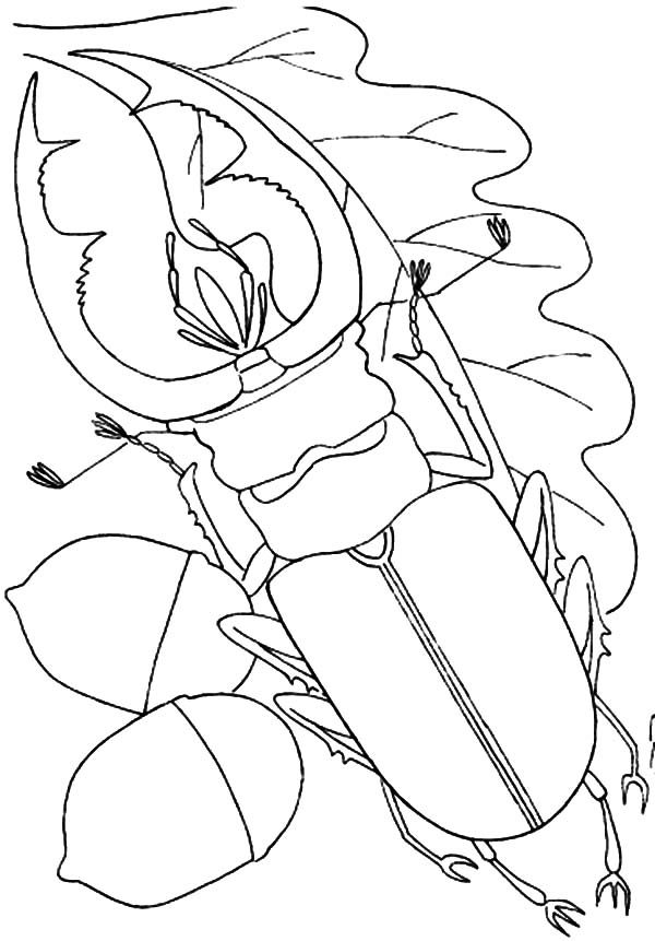 Beetle, : Beetle on Oak Leaf Coloring Pages