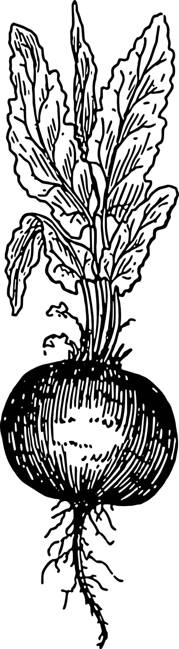 Beets Root Coloring Pages | Best Place to Color