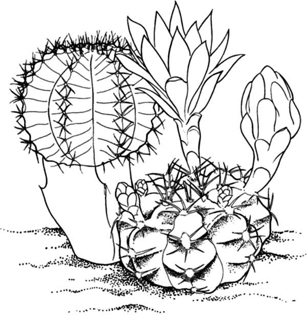 Cactus, : Big Cactus Flower Coloring Pages