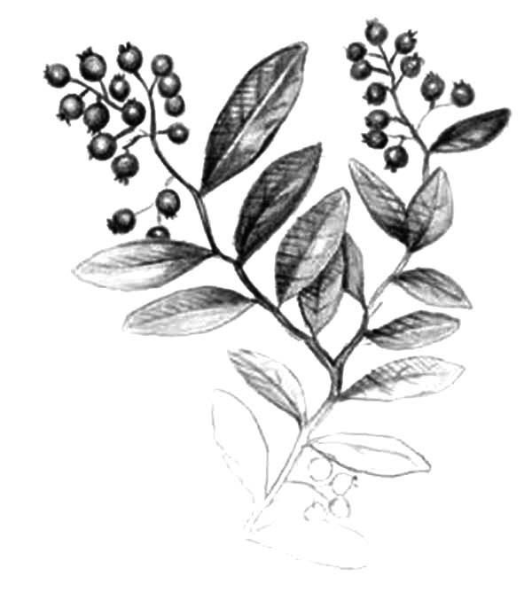 Blueberry Bush, : Blueberry Bush Pencil Sketch Coloring Pages