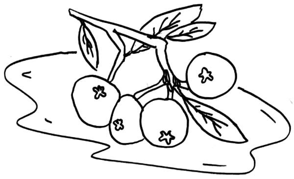 Blueberry Bush, : Blueberry Bush Plant Coloring Pages