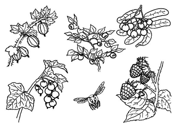 Blueberry Bush, : Blueberry Bush and a Bee Coloring Pages