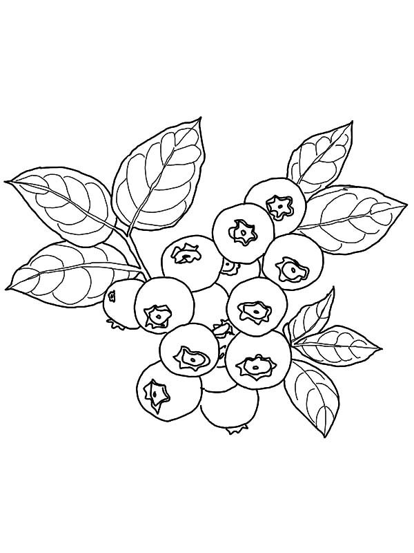 Blueberry Bush, : Blueberry Bush is Ready to be Picked Coloring Pages