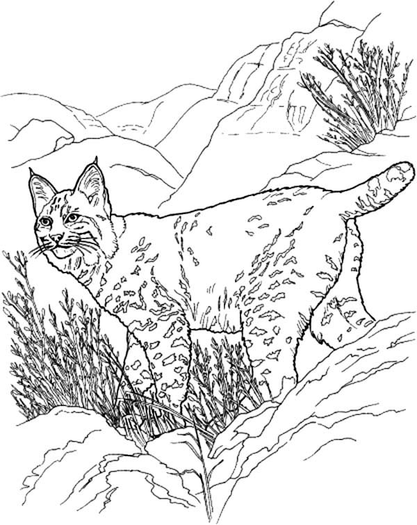 Bobcat, : Bobcat Coloring Lynx Walks in Hills Coloring Pages