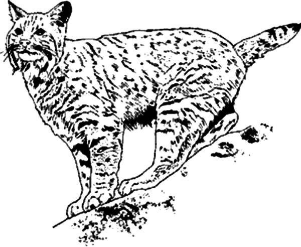Bobcat, : Bobcat Coloring Pages