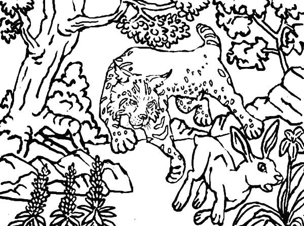 Bobcat, : Bobcat Hunting Deer Coloring Pages