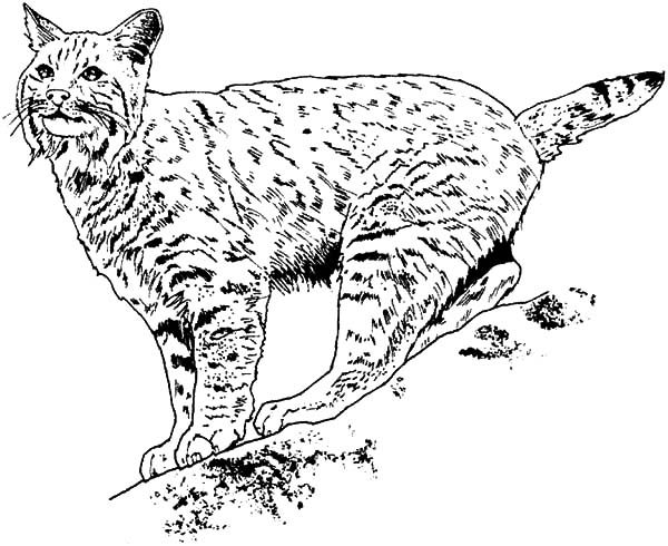 baby lynx coloring pages - photo#43