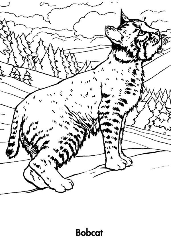 Bobcat, : Bobcat Looking for Prey Coloring Pages