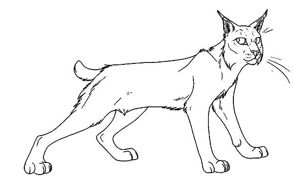 Bobcat, : Bobcat Ready to Hunt Coloring Pages