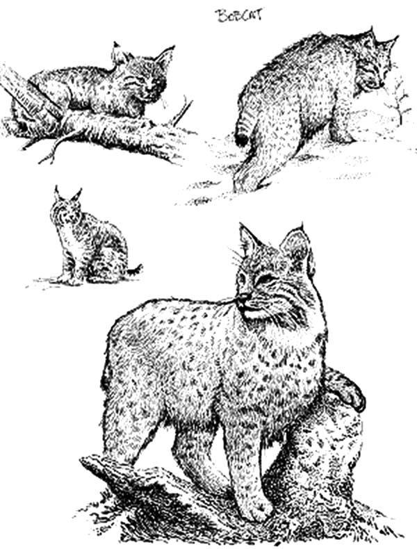 Bobcat, : Bobcat Savannah Coloring Pages