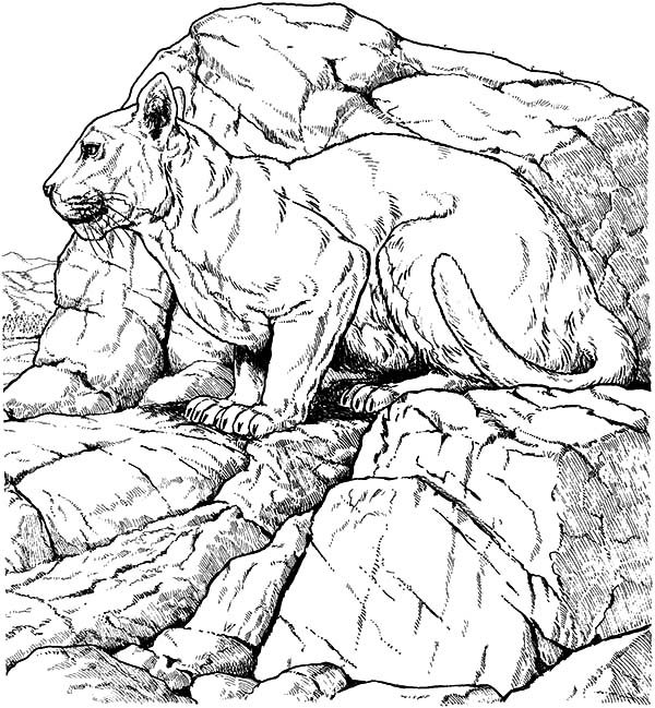 Bobcat, : Bobcat Siiting on Rocks Coloring Pages