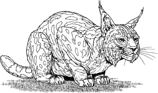 Bobcat, : Bobcat Sneaking Around Coloring Pages