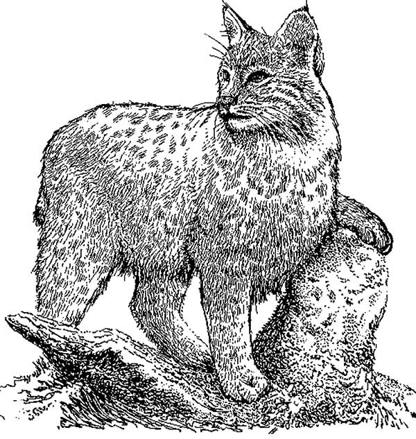 Bobcat, : Bobcat Still Silence Coloring Pages